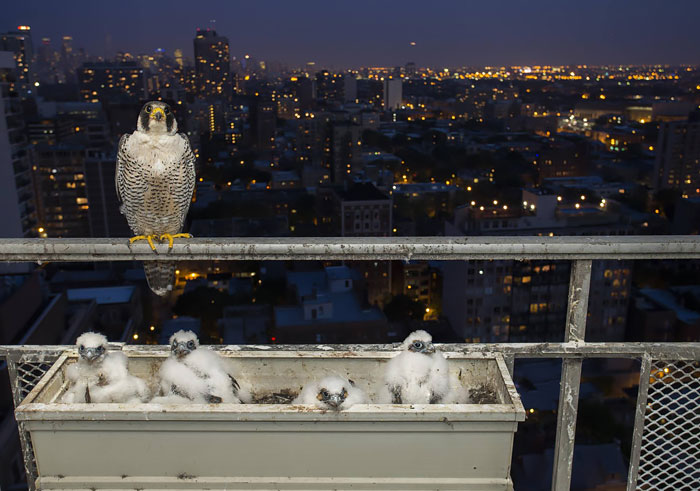 Chicago Photographer Has A New Family Take Over His Balcony
