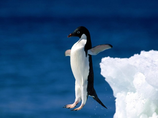 Penguin Try To Fly