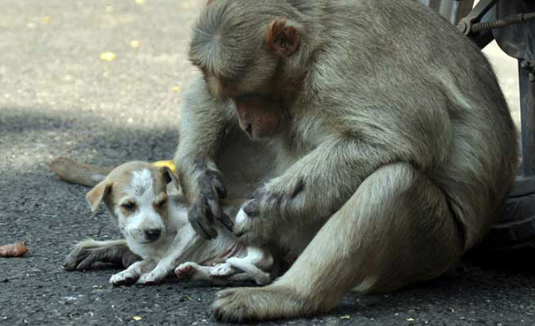monkey-adopts-puppy-erode-india-11