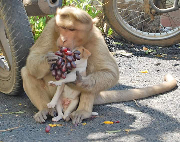 monkey-adopts-puppy-erode-india-3