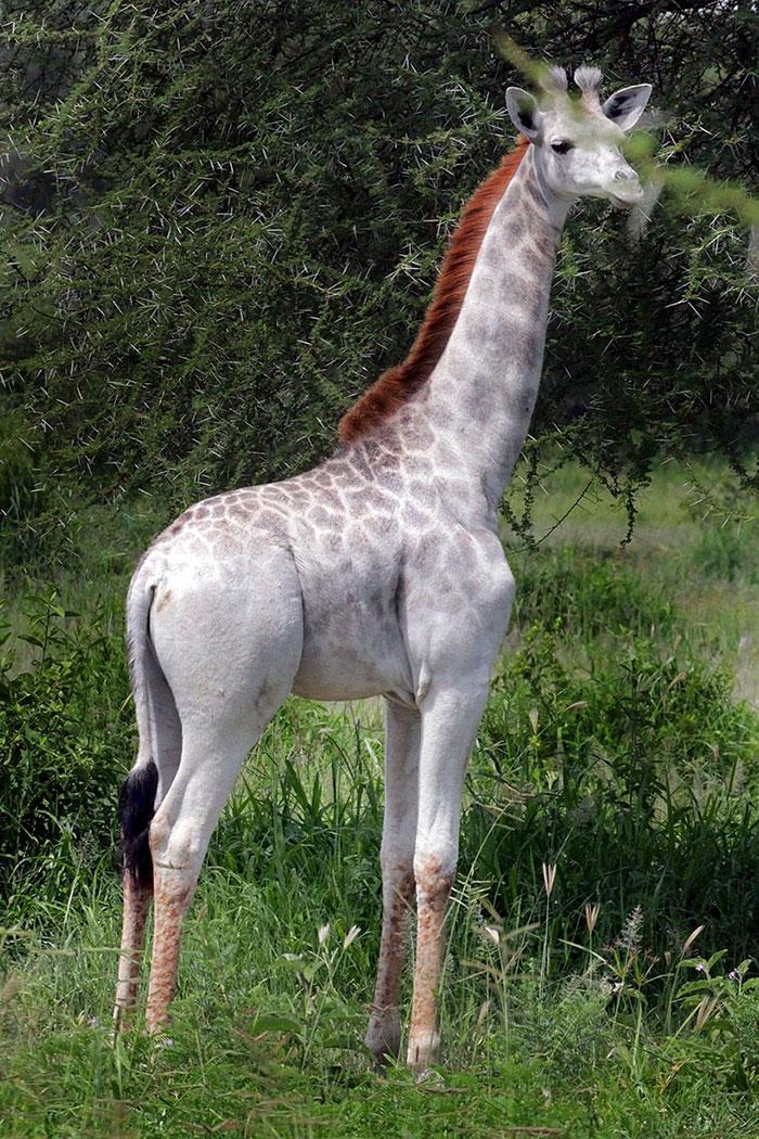 blanco-jirafa-leucismo-albino-raras-animales-omo-tanzania-7