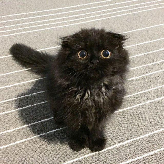 big-cute-eyes-cat-black-scottish-fold-gimo-1room1cat-27