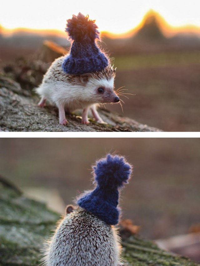 Hedgehog Wearing A Tiny Knitted Pom Pom Hat