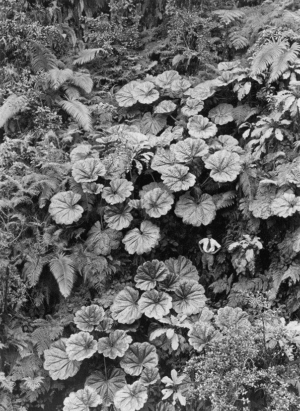 Un hombre se encuentra enana Bajo el mono-mono Hojas De Puohokamoa Gulch En Maui, Hawaii, 1924