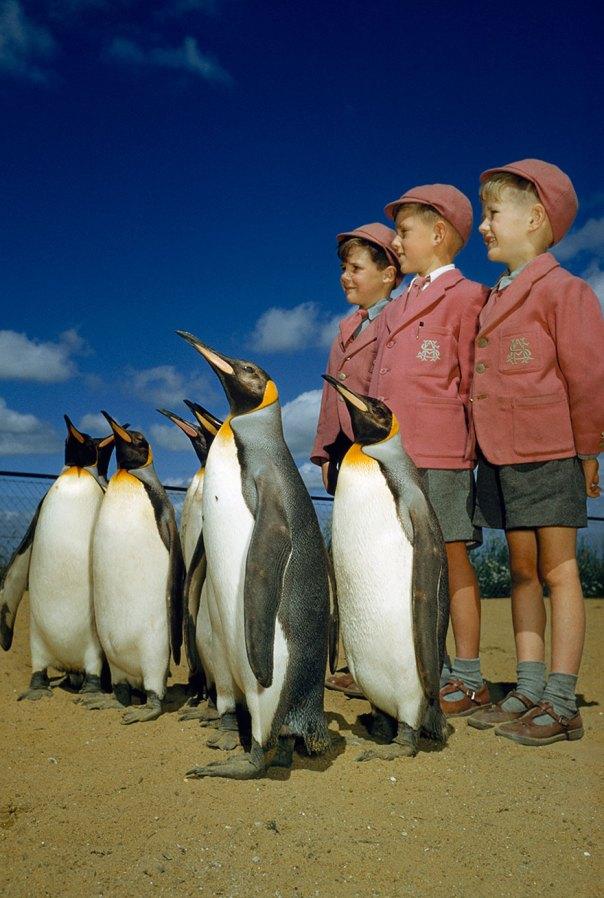 Niños vestidos con uniformes escolares posan con Pingüinos rey en el zoológico de Londres de 1953