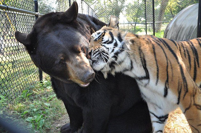 lion-tiger-bear-unusual-friendship-animal-shelter-georgia-1