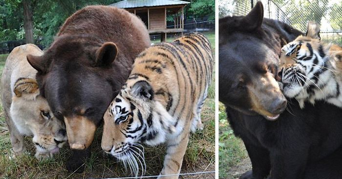 Bear Lion And Tiger Brothers Havent Left Each Others