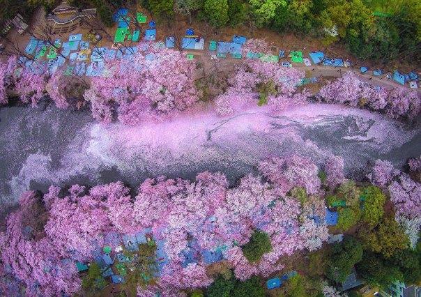 primavera, Japón y la cereza-flores-national-geographics-1