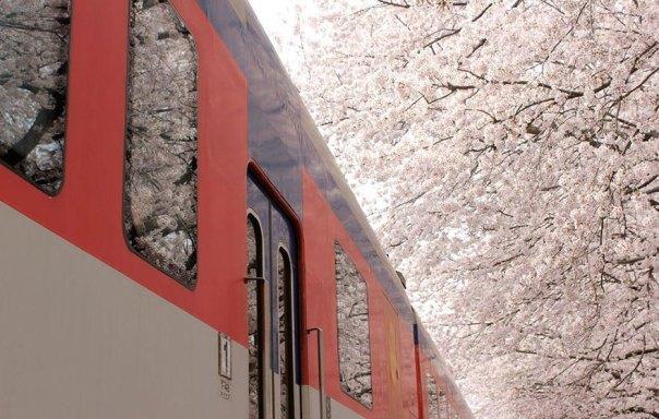 primavera, Japón y la cereza-flores-national-geographics-13