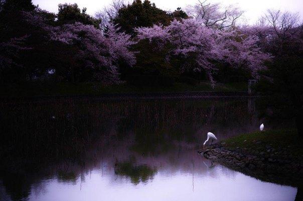 primavera, Japón y la cereza-flores-national-geographics-20