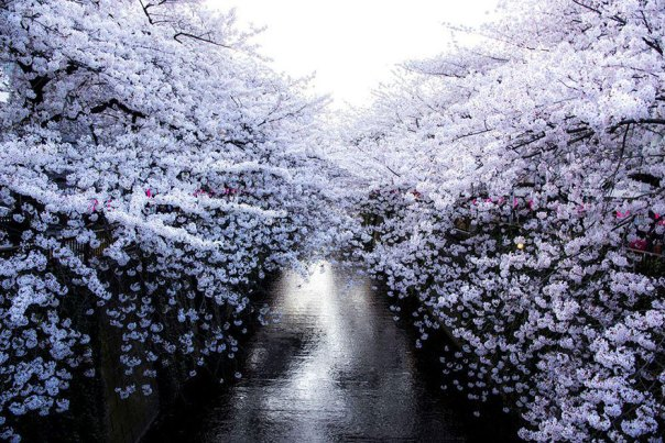 primavera, Japón y la cereza-flores-national-geographics-7