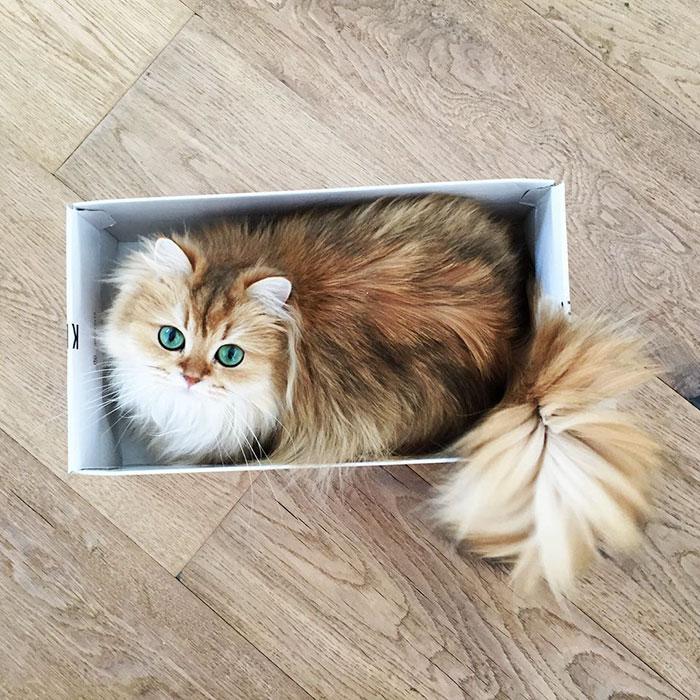 beautiful-fluffy-cat-british-longhair-21