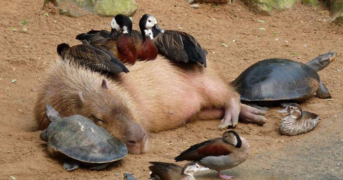 https://i0.wp.com/static.boredpanda.com/blog/wp-content/uploads/2016/04/capybara-unusual-animal-friendship-fb__700-png.jpg