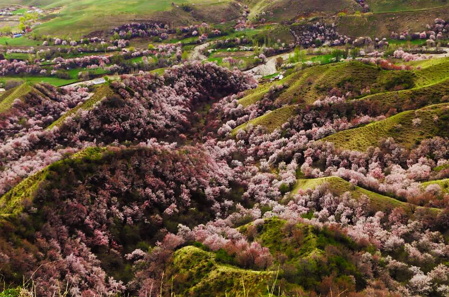 blooming-apricot-valley-yili-china-21