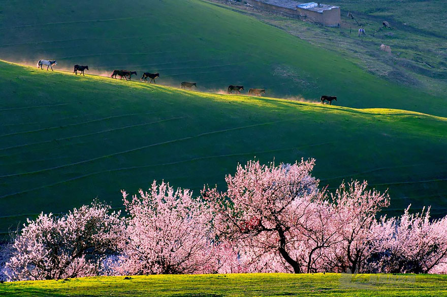 blooming-apricot-valley-yili-china-23