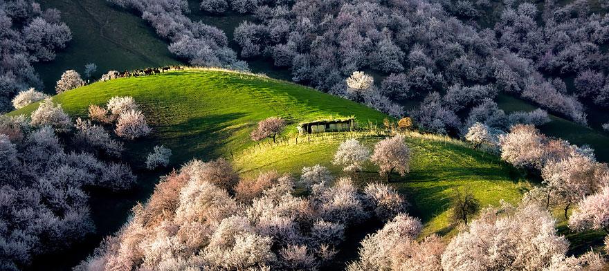 blooming-apricot-valley-yili-china-25