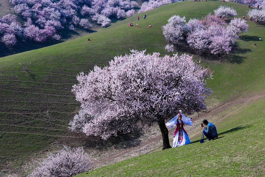 blooming-apricot-valley-yili-china-3