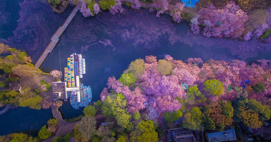 sakura-cherry-blossom-drone-photography-danilo-dungo-japan-3
