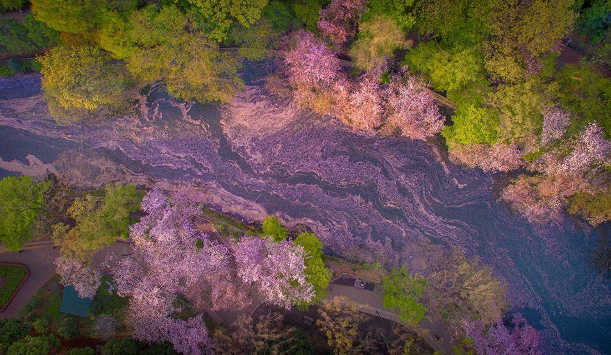 sakura-cherry-blossom-drone-photography-danilo-dungo-japan-6
