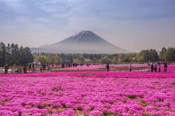 Fields Of Shibazakura