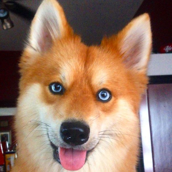 fox-dog-pomeranian-husky-mya-the-pomsky-40