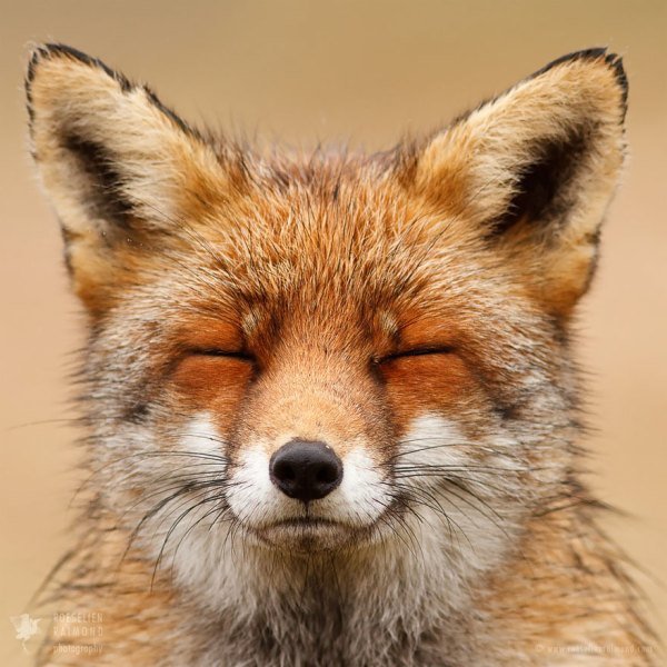 Faces Of Foxes Proves Fox Personality Bored Panda