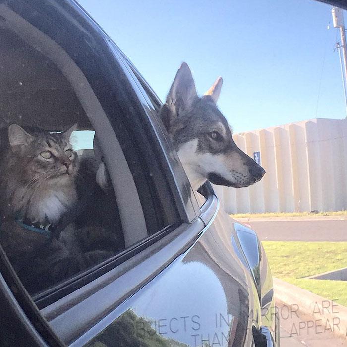 husky-dog-picks-shelter-cat-friendship-raven-woodhouse-christina-4