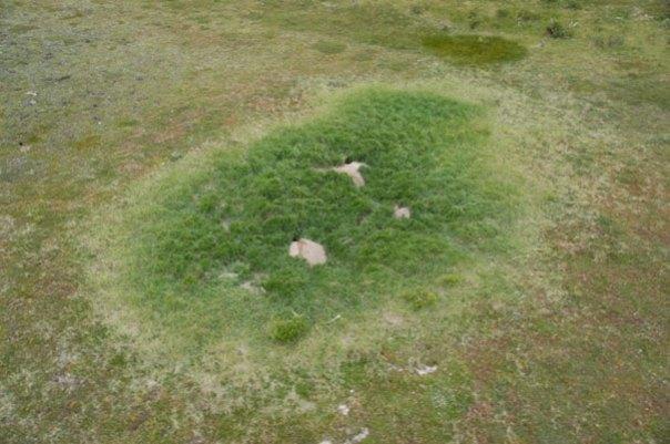 Arctic-zorros-crecer-jardín-alaska-8