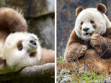 The World S Only Brown Panda Who Was Abandoned As A Baby