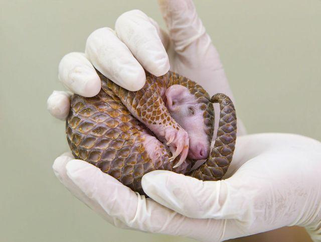 Baby Pangolin
