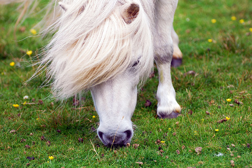 Miniature-pony-Foula-island-2