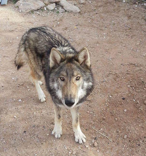 not-puppy-dog-wolf-13