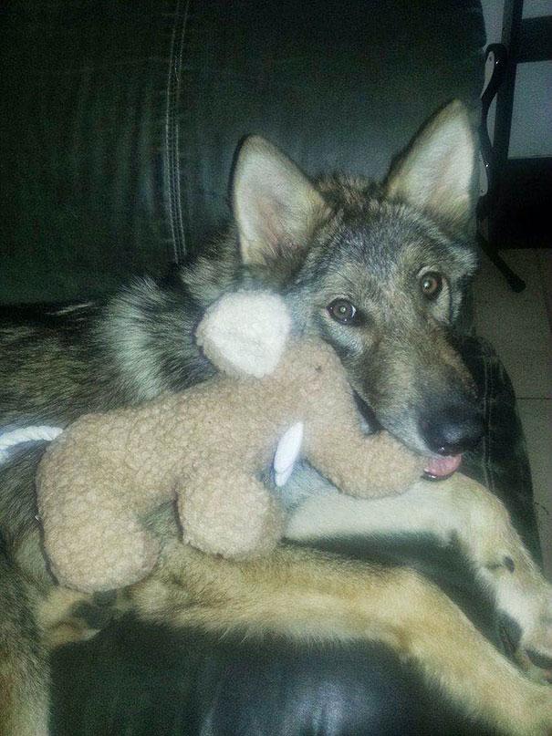 not-puppy-dog-wolf-7