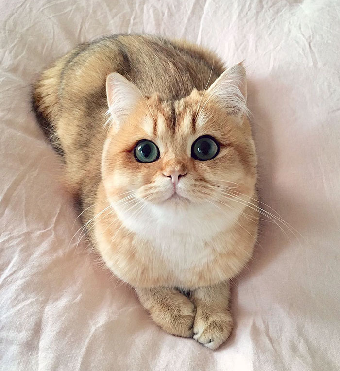 Golden British Shorthair Kitten Named Pumpkin With Flawless Winged Eyeliner