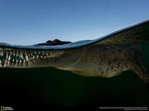 cocodrilo de la línea de flotación