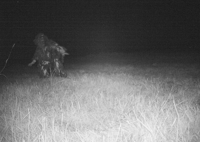 Police-camera-find-mountain-lion-kansas-7