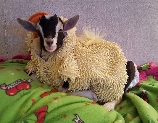 rescue-goat-duck-costume-goats-of-anarchy-polly-leanne-lauricella-9