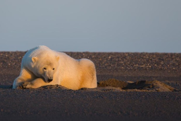 polar-bears-no-snow-photography-patty-waymire-alaska-6