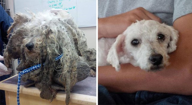 Shrek was found barely moving, with legs covered in sores and fur caked with mud. After his excess hair was removed and his wounds were cared for, he was discovered to be a 6-year-old malti-poo dog that had been raised at a puppy mill