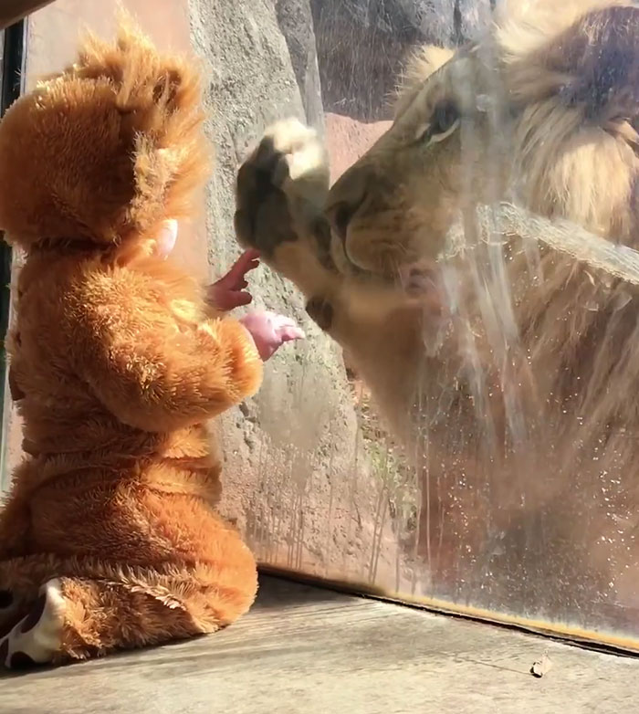 Image result for image of baby in a lion's costume and lion on other side of the window
