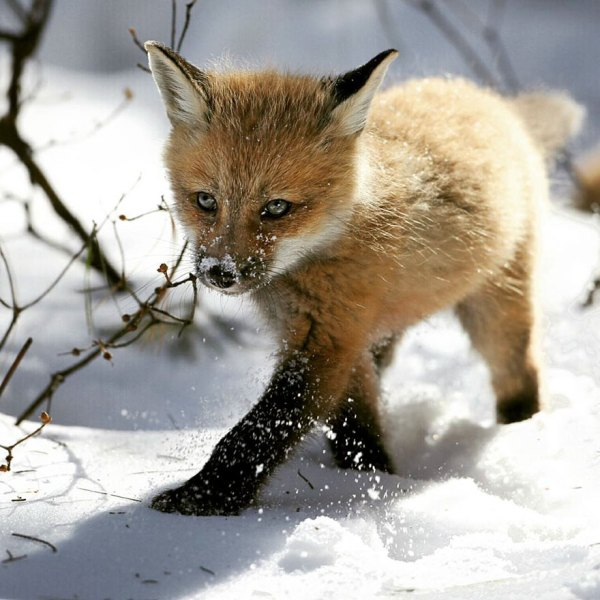 Baby Winter Foxes