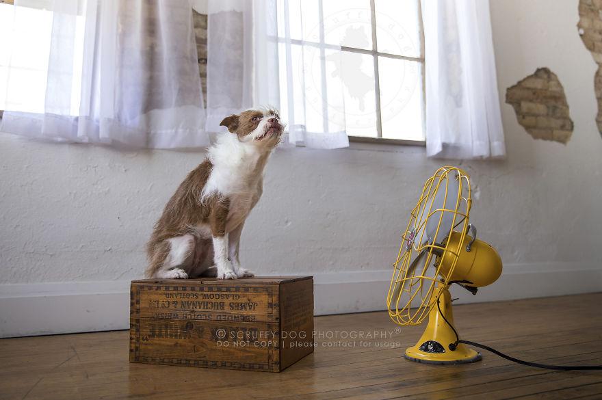 Fiona, A Rescued Boston Terrier Cross