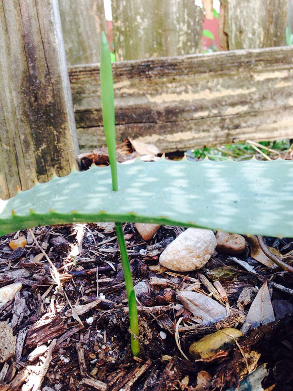 This Grass Grew Right Through My Aloe
