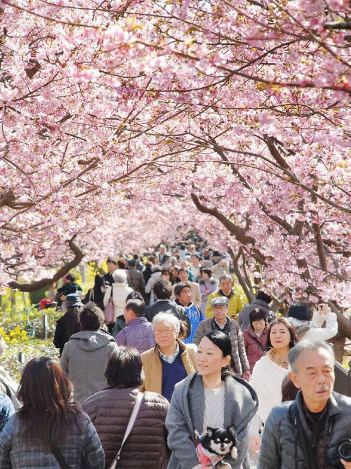 kawazu-cherry-blossoms-shizuoka-japan-13