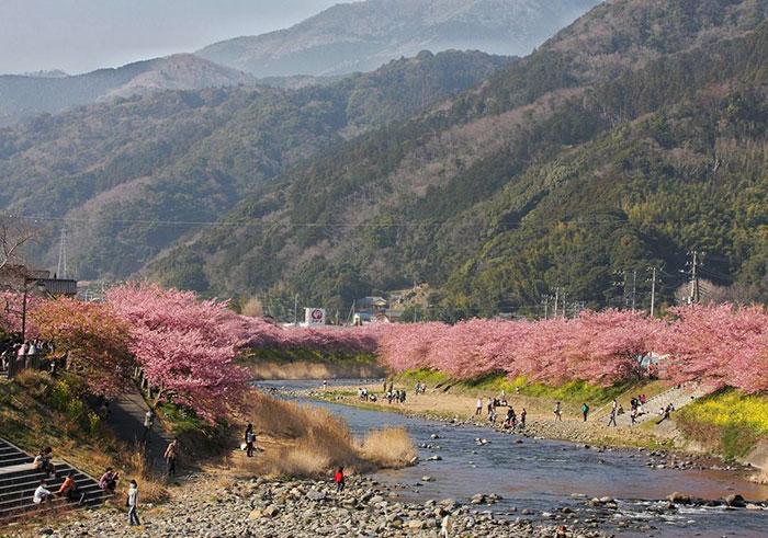 kawazu-cherry-blossoms-shizuoka-japan-5