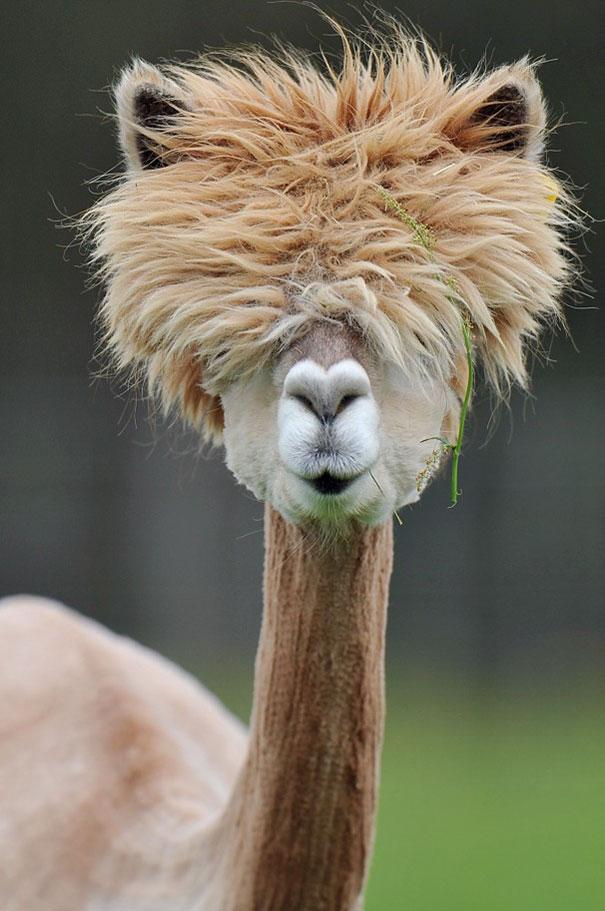 Funny Looking Llama : funny, looking, llama, Alpacas, Bored, Panda