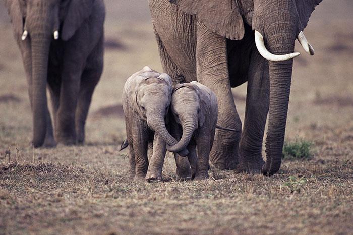 Elefantes bebés
