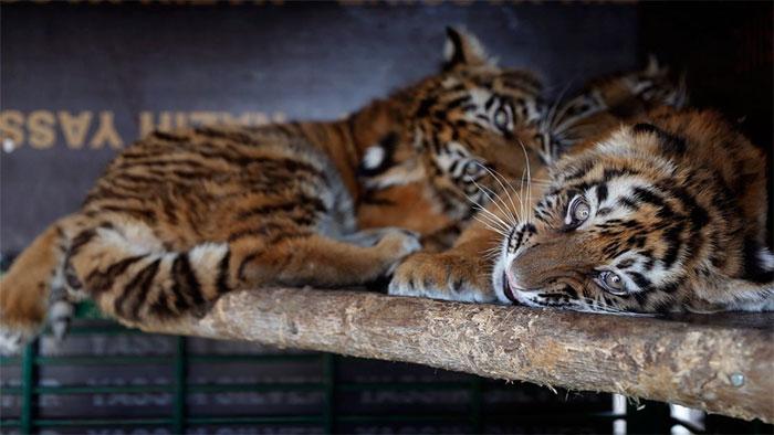 tiger-cubs-box-sits-at-airport-15