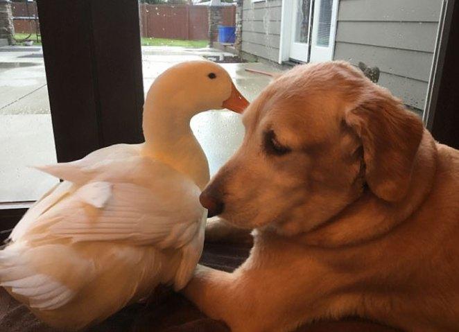 animal-friends-dog-barclay-pekin-duck-rudy-13