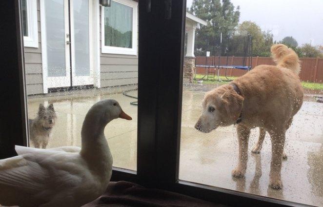 animal-friends-dog-barclay-pekin-duck-rudy-15